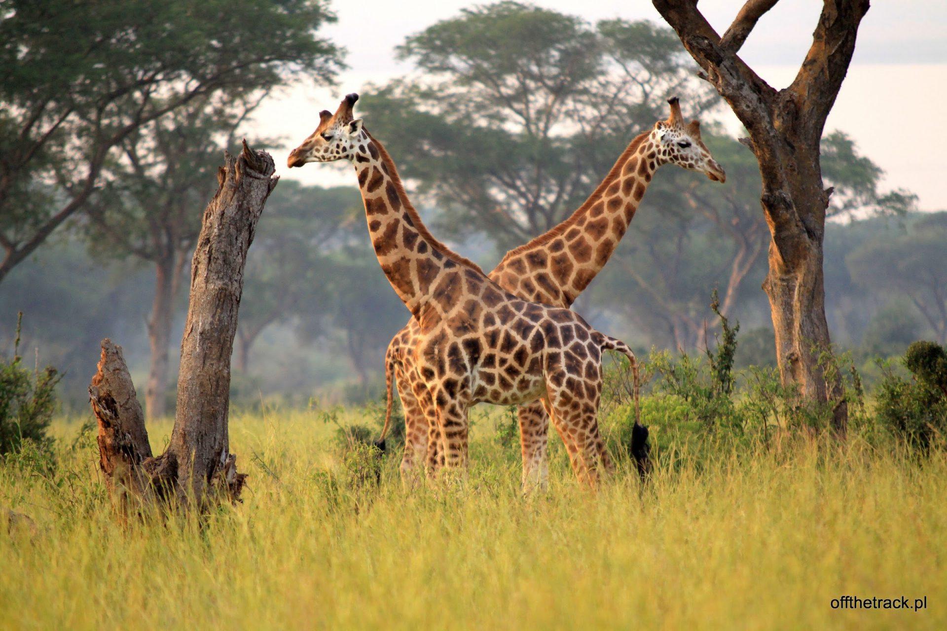 Safari w Parku Narodowym Murchison Falls w Ugandzie