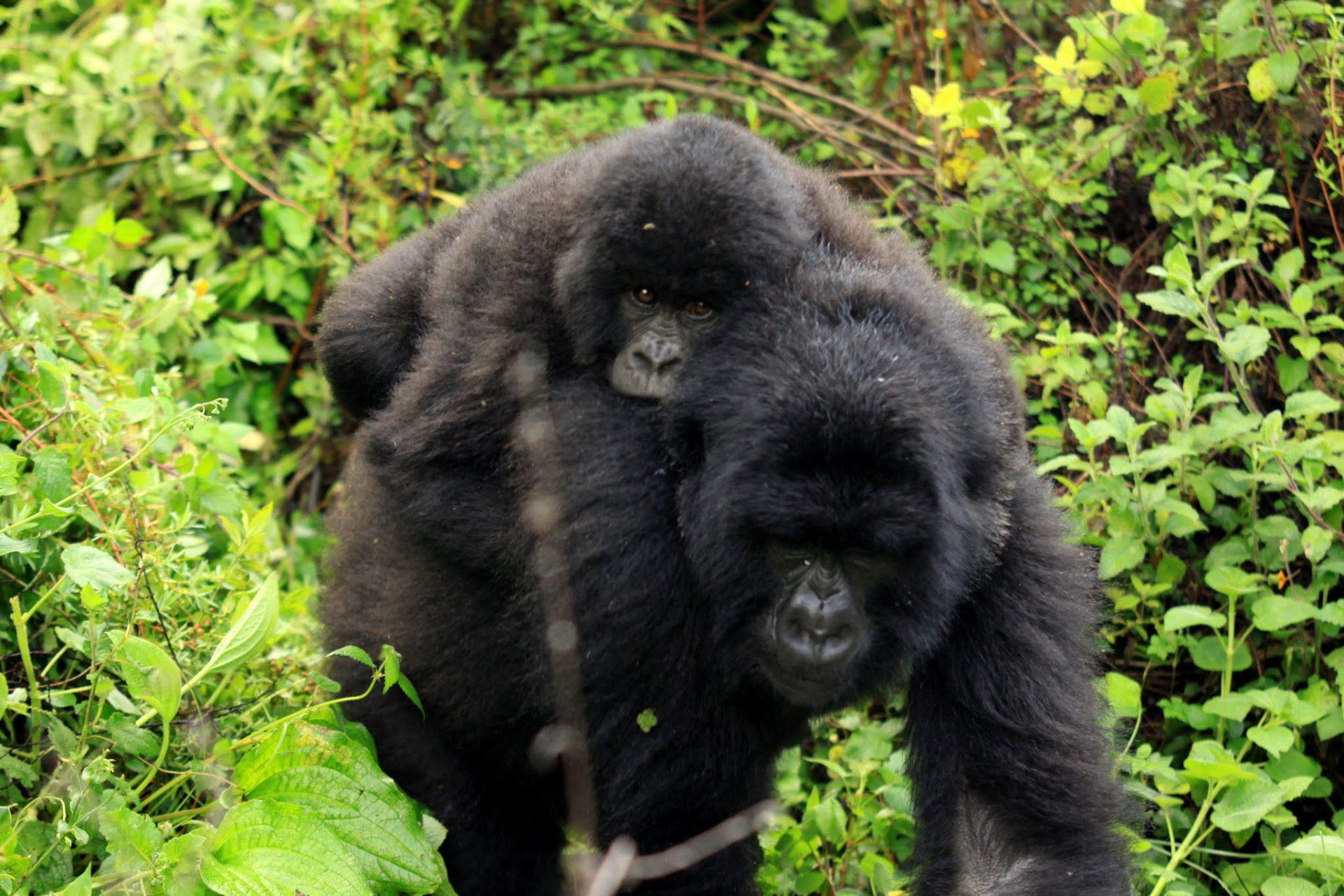 Zapiski z drogi: Goryle i szympanse
